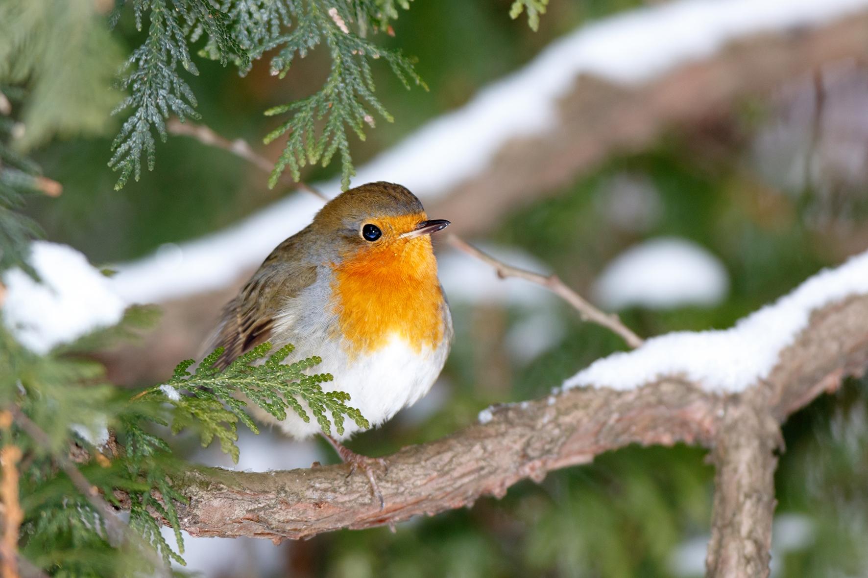 wintervogels