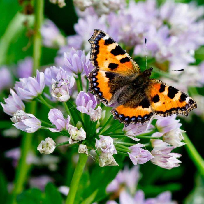 Sierui 'Allium Unifolium'