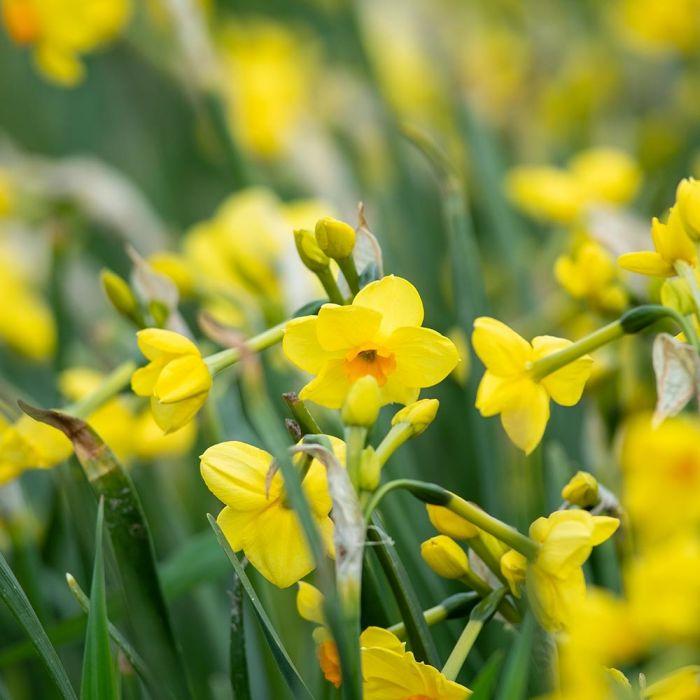 Narcis 'Martinette' - Biologische bloembollen - 10 stuks