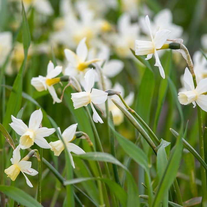 Narcis 'Sailboat' - Biologische bloembollen - 10 stuks