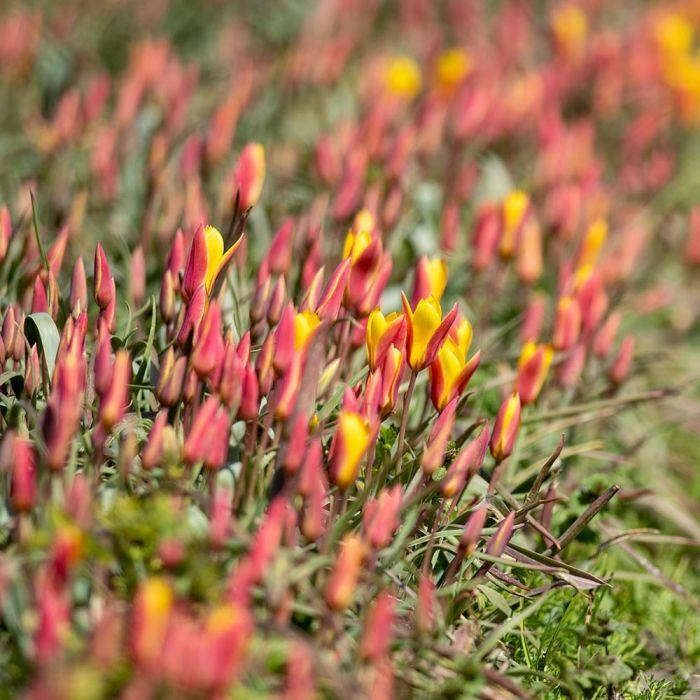 Tulp 'Clusiana var Chrysantha' - Biologische bloembollen - 10 stuks