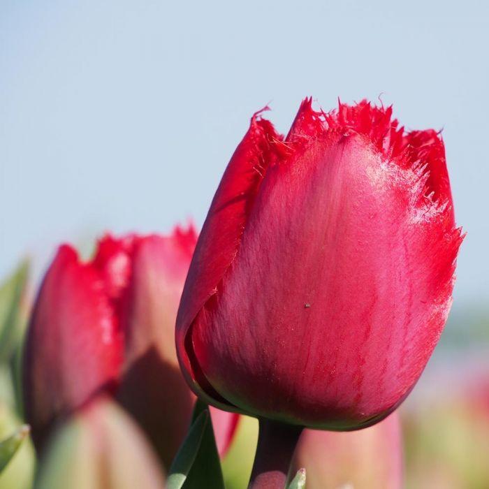 Tulp 'Masterpiece' - Biologische bloembollen - 10 stuks