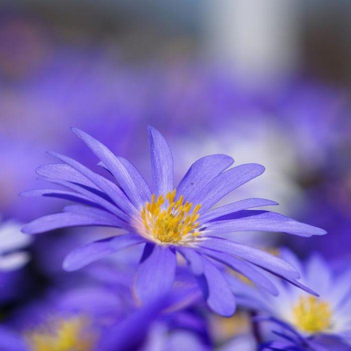 Blauw Anemoontje - Biologische bloembollen - 10 stuks