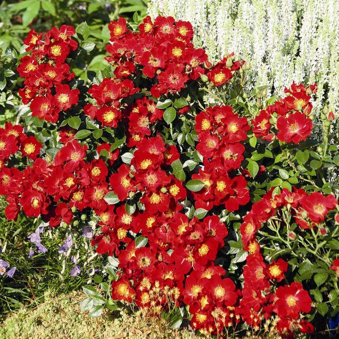 Bijenweelde® rood