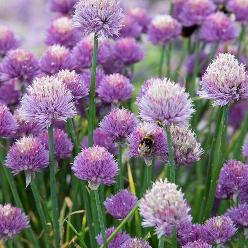 Bieslook - Allium schoenoprasum