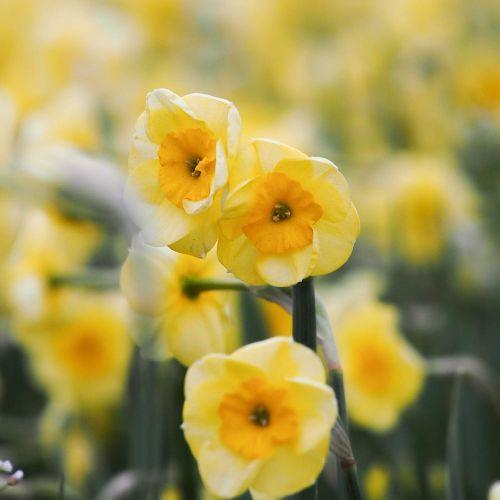 Narcis 'Sundisc' - Biologische bloembollen - 10 stuks