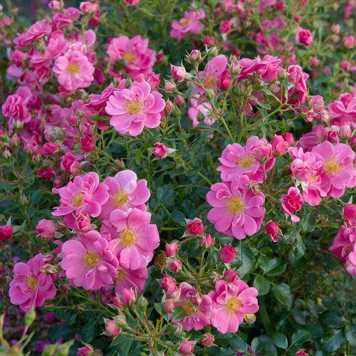Bijenweelde® roze
