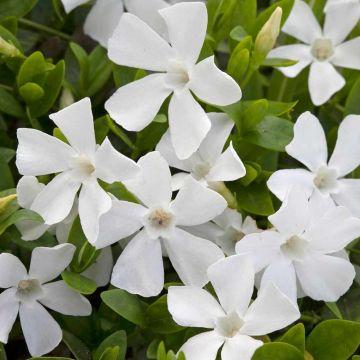 Witte maagdenpalm - 8-pack