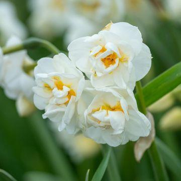 Narcis 'Bridal Crown' - Biologische bloembollen - 10 stuks