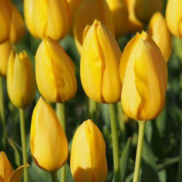Tulp 'Muscadet' - Biologische bloembollen - 10 stuks