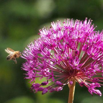 Sierui - Biologische bloembollen - 5 stuks