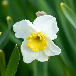 Narcis 'Minnow' - Biologische bloembollen - 10 stuks