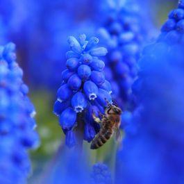 Blauw Druifje - Biologische bloembollen - 10 stuks