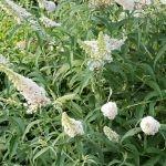 Vlinderstruik White Bouquet