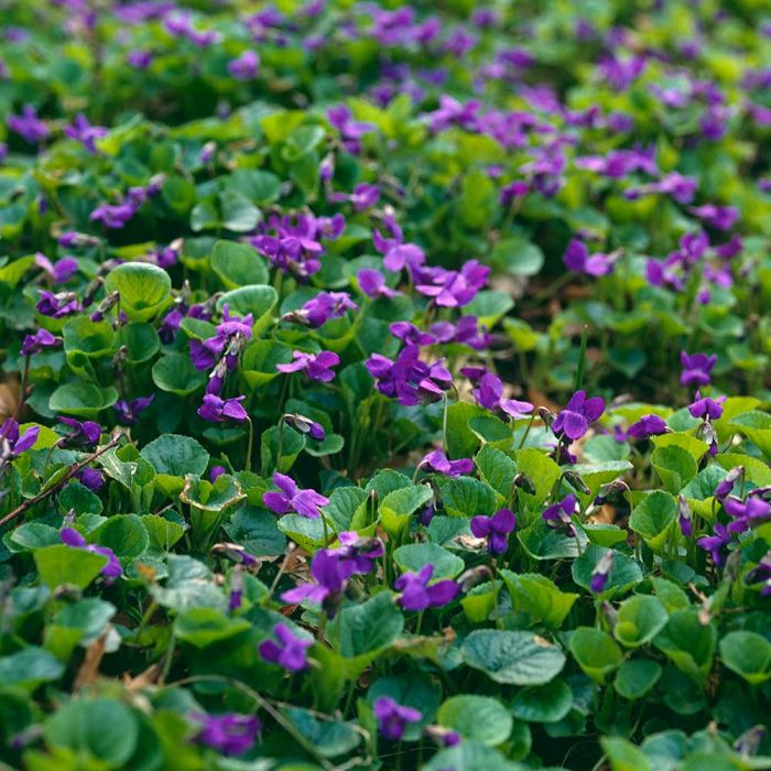 Maarts viooltje