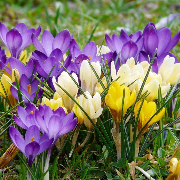 Crocus Botanisch bloembollen