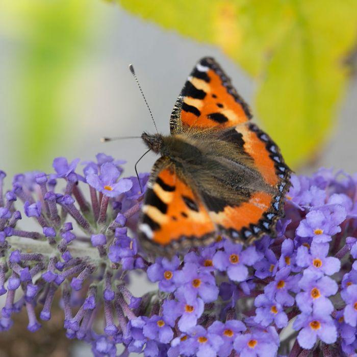 Vlinderstruik 'Darts Papillion Blue'