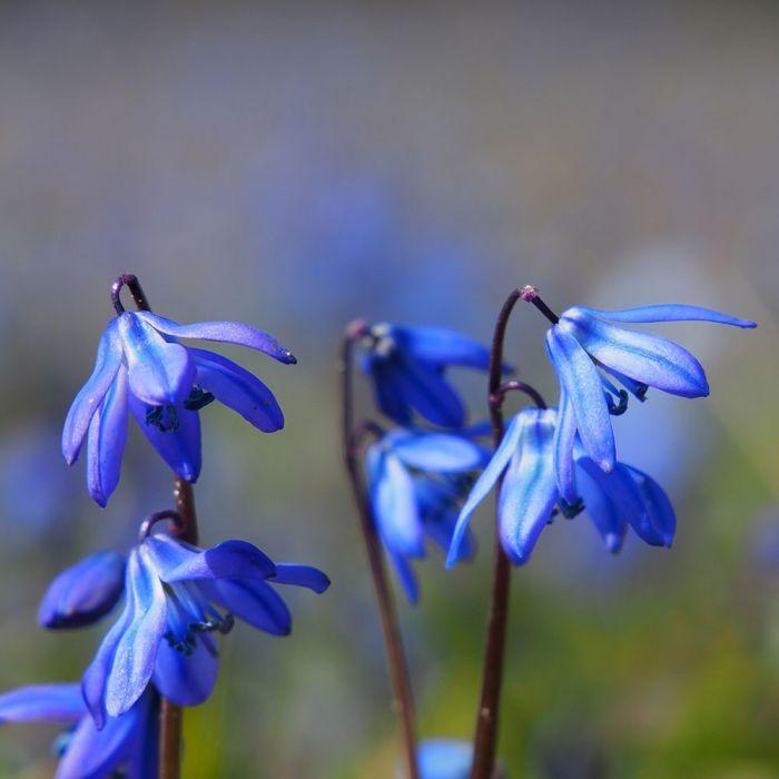 Biologische bloembollen Sterhyacint