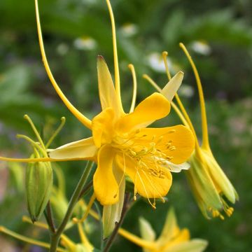 Gele Akelei (Aquilegia chrysantha 'Yellow Queen')