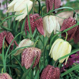 Kievitsbloem bloembollen