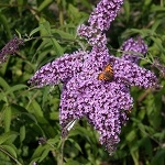 Vlinderstruik Dartmoor